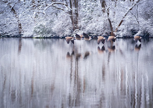 geese in snow_4048